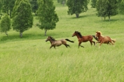 The Altay's meadow running horses on it